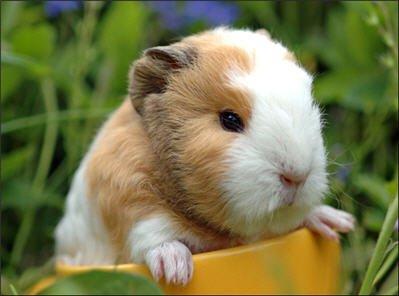 Gunnie Pig.jpg