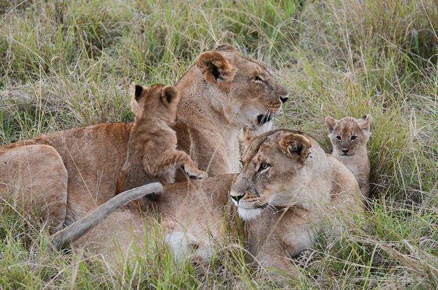 LionFamily.jpg