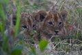LionCubs.jpg