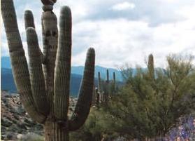 Arizona cactus.png