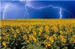 sunflower-lightning-field.jpg