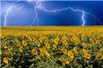 sunflower-lightning-field.jpg