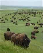Buffalo roam.png