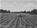 plantation cotton.png