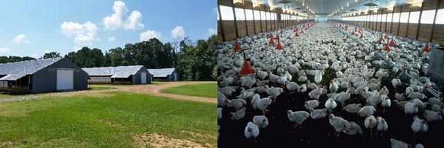 Arkansas_chicken_farming