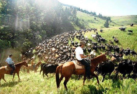 Wyoming cattle roundup